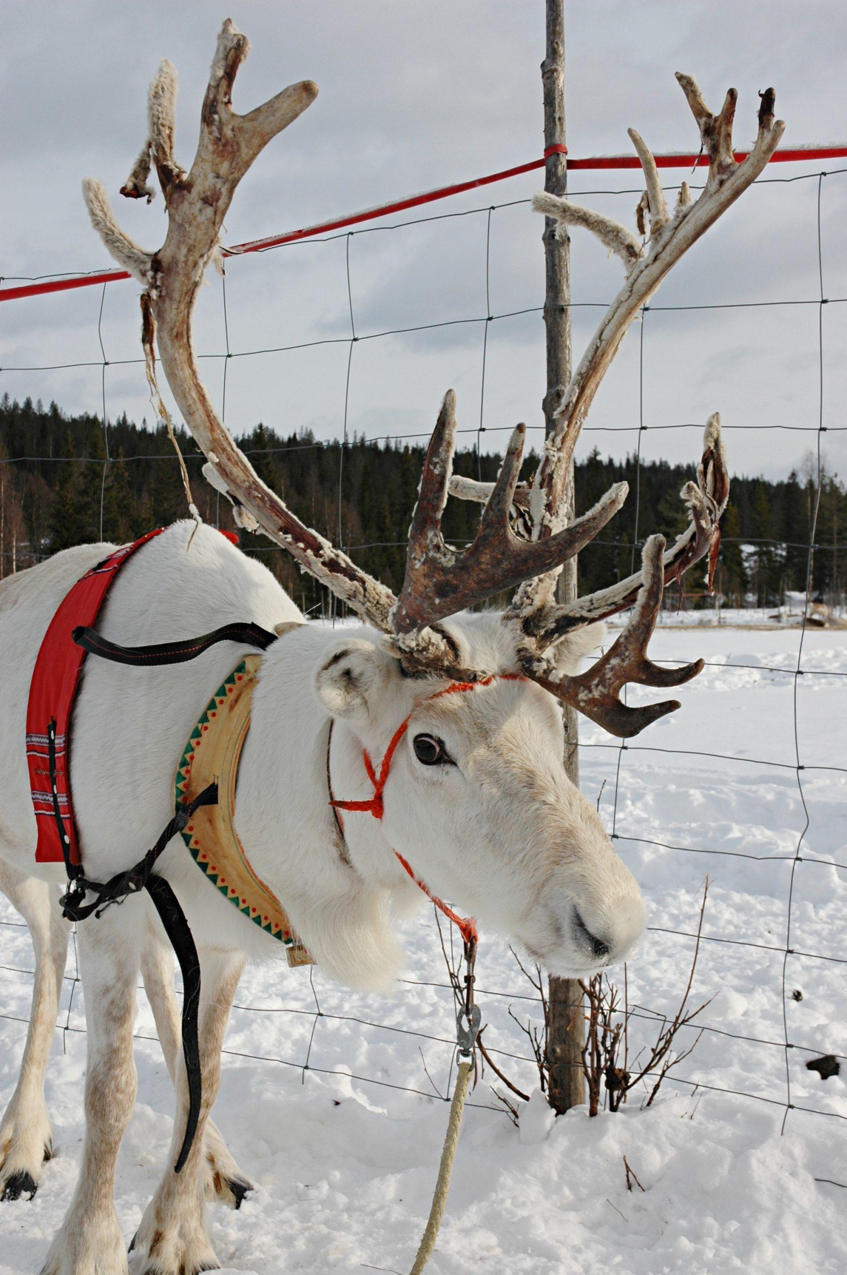 D6 - 02 Mika Käsmä's Reindeer Farm12